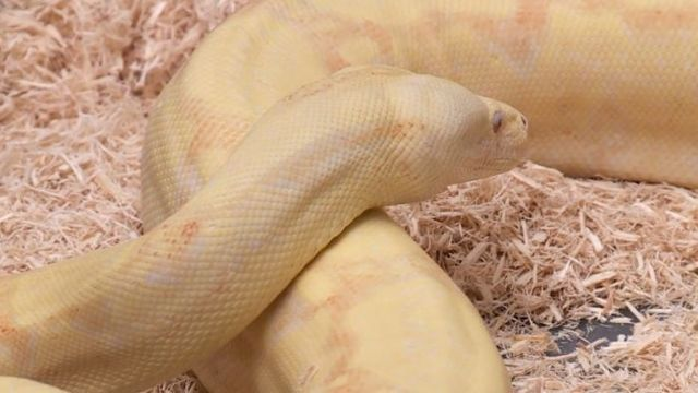 Boa Constrictor skin found in Ohio city, snake nowhere in sight