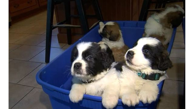 St. Bernard puppies rescued from river now ready for adoption