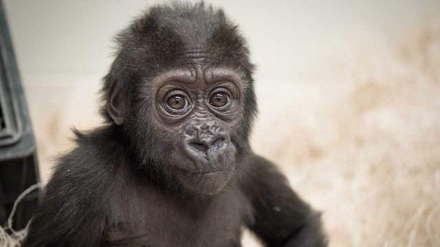 Columbus Zoo welcomes young orphaned gorilla